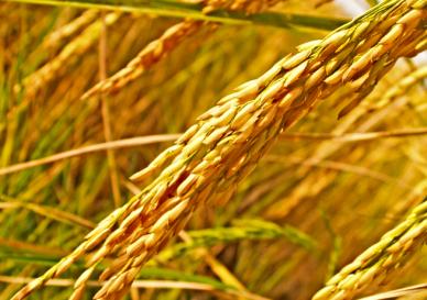 rice crop post pic (1)